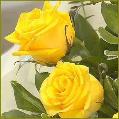 Imagenes Bonitas De Rosas amarillas
