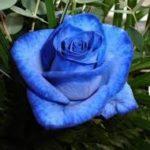 Imágenes Bonitas De Rosas Para Descargar Gratis