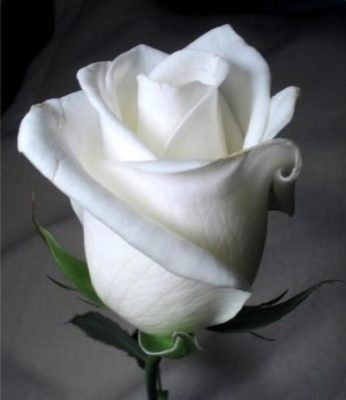 Imagenes Bonitas De Rosas blancas
