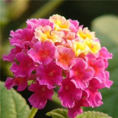 Las Flores Más Lindas Del Mundo lantana
