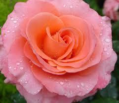 descargar imagenes de flores hermosas rosadas