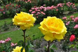 flores hermosas de amor amarillas