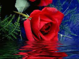 flores rojas hermosas en agua