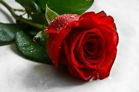 flores rojas hermosas una rosa