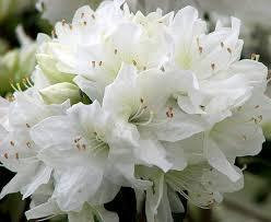 fotos de flores blancas para descargar