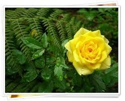 fotos de rosas amarillas naturales