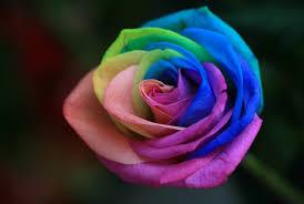 fotos de rosas de colores para compartir