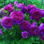 Fotos De Rosas Naturales Para Arreglos Florales
