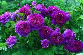 fotos de rosas naturales azules