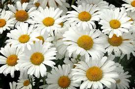 imágenes de flores blancas hermosas