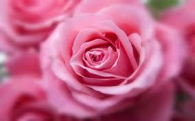 imagenes de las flores mas hermosas y rosas