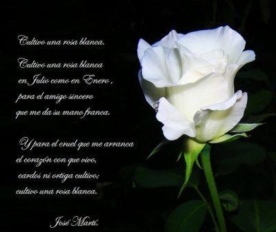 imagenes de rosas blancas con frases dibujos