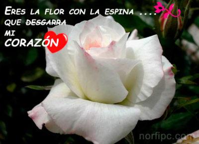 imagenes de rosas blancas con frases hermosas