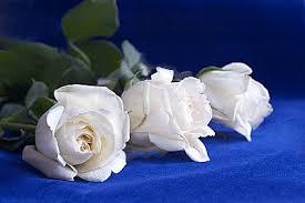 imagenes de rosas blancas hermosas naturales
