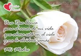 imagenes de rosas blancas hermosas para enamorar