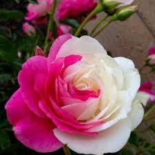imagenes de rosas lindas rojas