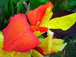 las flores mas lindas del mundo canna india