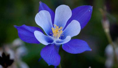las flores mas lindas del mundo colorado columbine