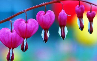 las flores mas lindas del mundo corazon sangrante