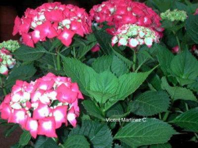 las flores mas lindas del mundo hortencia