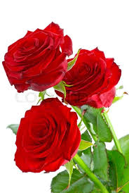 rosas hermosas rojas para conquistar