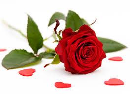 rosas hermosas rojas para mi novia