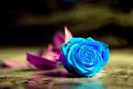Fotos de rosas hermosas para regalar