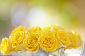 fondos de pantalla de rosas amarillas