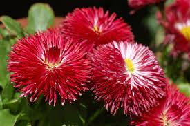 imágenes de flores para descargar rojas