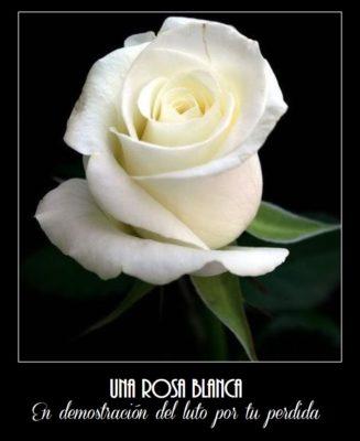 imágenes de rosas blancas para luto