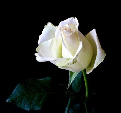 imagenes-de-rosas-blancas-grandes