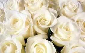 imagenes-de-rosas-blancas-grandes-para-descargar