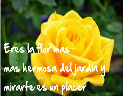 Rosas amarillas con frases de amor para dedicar im genes - Significado rosas amarillas ...