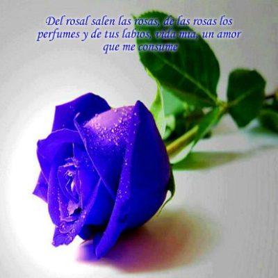 imagenes-de-rosas-azules-con-frases-de-amor
