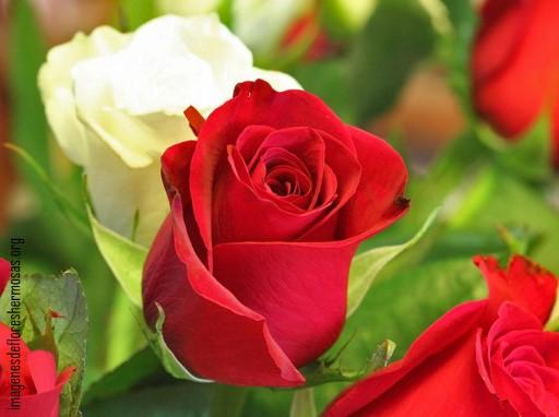 imágenes de rosas bonitas para descargar